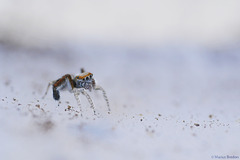Araignée volante 1