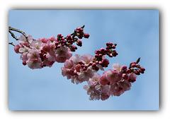 Japanische Zierkirschenblüte zu Ostern