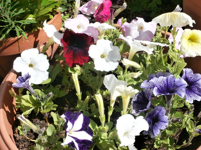 Loads more petunias are out