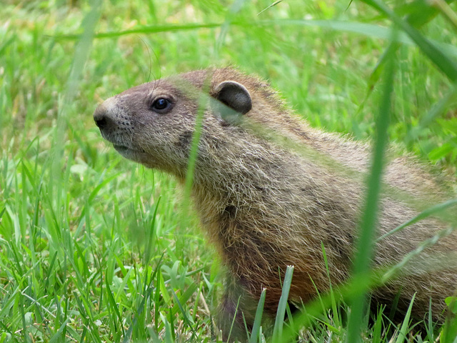 Groundhog watching me