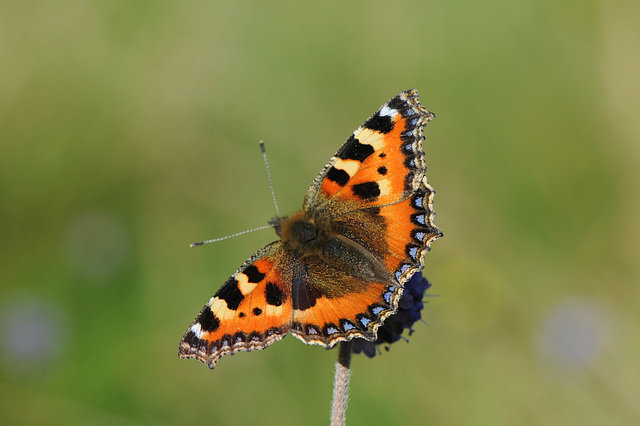 Small tortoiseshell in the meadow