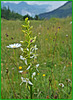 Grünliche Waldhyazinthe