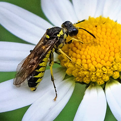 Wasp -