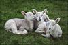 The Three Lambs ...