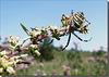 Argiope bruennichi femelle.
