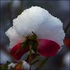 Rose unter Last:)