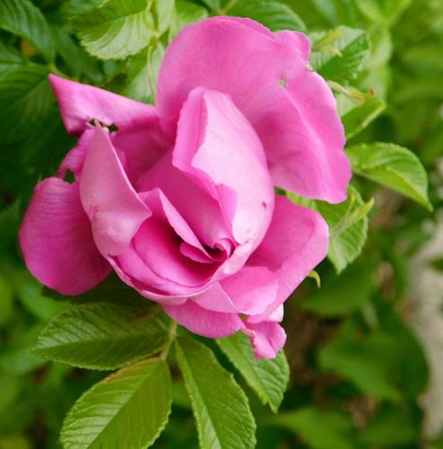 Pour voir la vie en...rose...