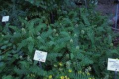 Astragalus sp (1)
