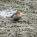 Yesterday's treat - Rusty Blackbird female