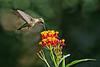 Hummingbird.  8087819