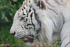 Beauty of white tiger