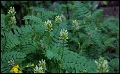 Astragalus sp (2)