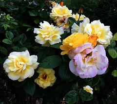 Buisson de roses