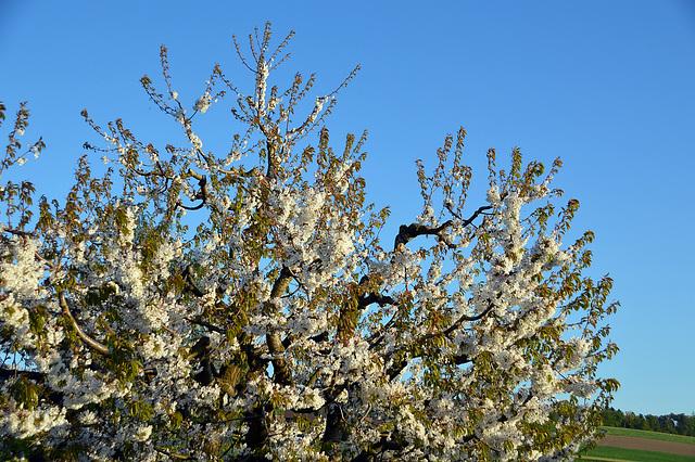 Frühling im Kirschbaum