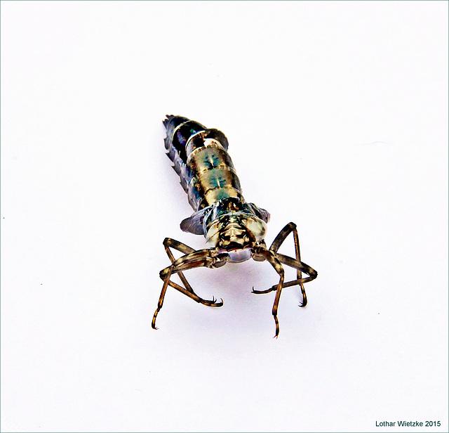 Hülle einer entschlüpften Libelle