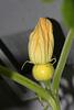 Dritte weibliche Blüte
