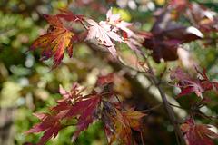 feuilles petit érable automne