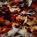 Zűrzavar az avarban... Chaos in the leaves ...