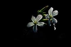 Weiße Lichtnelke