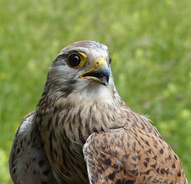 Faucon crécerelle  (Falco tinnunculus) (Common Kestrel)