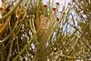 Euphorbia Kamponii, flowers.