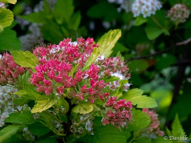 Arbuste en floraison…..