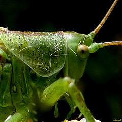 grande sauterelle verte , un mâle (Tettigonia viridissima)