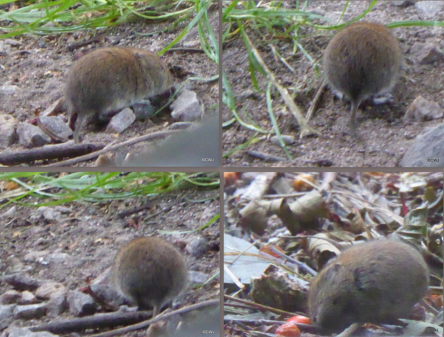A very fat little bank vole rooting about on the steps outside the gazebo