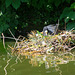 Coot nesting