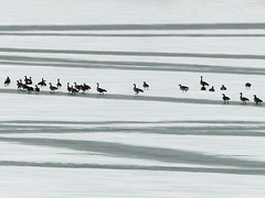 Canada Geese on ice at Pine Coulee Reservoir