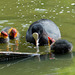 Coot with its chicks