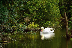 Swan at Cutt Mill.