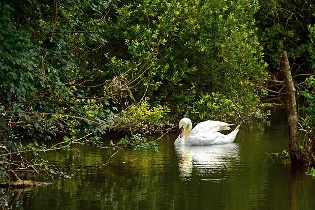 Swan at Cutt Mill.