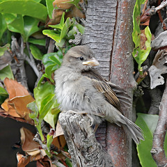 Fledgling House Sparrow   /   July 2020