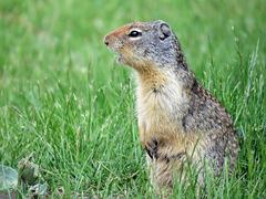 Columbian Ground Squirrel / Urocitellus columbianus
