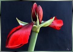 Amaryllis erblüht. Tag 5... Amaryllis blossoms. Day 5.... ©UdoSm