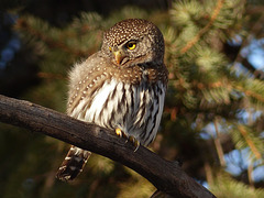 Popcan-sized Northern Pygmy-owl, from January 2015