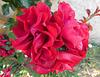 Roses pour la fête des Marie*******************