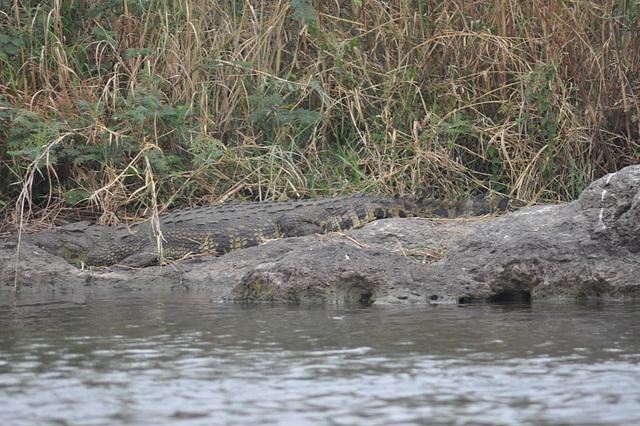 Krokodilo. Ĉobe Nacia Parko