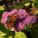 Peacock and Small Tortoiseshell butterflies