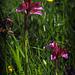 le prime orchidee farfalla