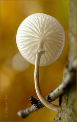 Tiny Porcelain fungus ~ Porseleinzwam (Mucidula mucida ~ Oudemansiella mucida)...