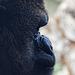Gorilla im Bioparc Valencia (© Buelipix)