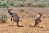 P1260952- Kangourous, balade découverte - Parc national Mungo.  03 mars 2020