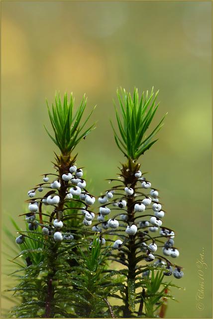 Vlekkig Kristalkopje (Didymium melanosporum)...