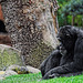 Schimpanse im Bioparc Valencia (© Buelipix)