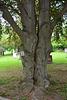 Canada 2016 – Toronto – Mt Pleasant Cemetery – Siamese trees