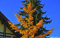 Le gonkgo, l'arbre au 40 écus