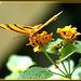 Oranger Tiger (Dryadula phaetusa) ©UdoSm