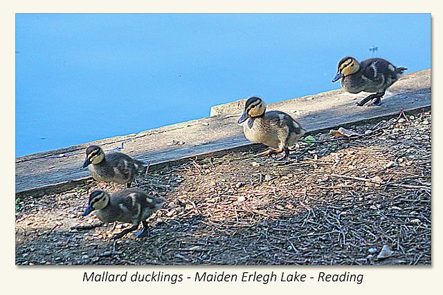 Mallard ducklings - Maiden Erlegh Lake - Reading - 22.4.2015